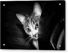 Cat Acrylic Print by Robert Knight
