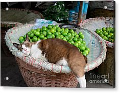 Cat Sleeping Among The Limes Acrylic Print