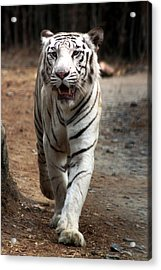 Cat Walk Acrylic Print