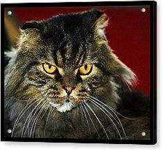 Cat With An Attitude Acrylic Print