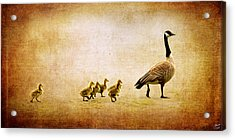 Catch Up Little Gosling Acrylic Print by Lisa Knechtel