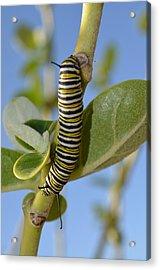 Caterpillar Acrylic Print by Bonita Hensley