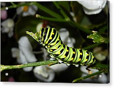 Acrylic Print featuring the photograph Caterpillar Camouflage by Bill Swartwout