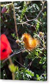Caterpillar Acrylic Print by Jacob Sela