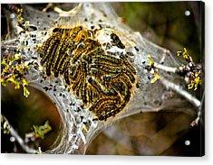Caterpillars Acrylic Print by Joel Loftus