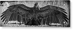 Cathartes Aura Acrylic Print