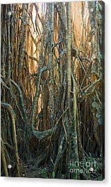 Cathedral Fig In Australia Acrylic Print