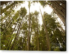 Acrylic Print featuring the photograph Cathedral Forest by Artist and Photographer Laura Wrede