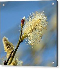 Catkin Flowering Acrylic Print by Gynt