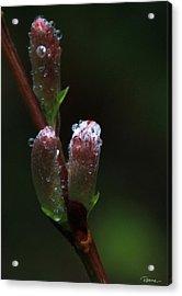 Catkin Raindrops Acrylic Print