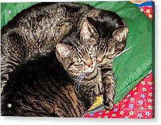 Cats Cuddling Acrylic Print by Sue Smith