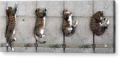 Cat's Life 3 Acrylic Print