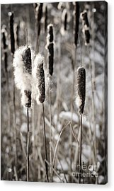 Cattails In Winter Acrylic Print by Elena Elisseeva