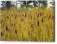 Cattails In Yellowstone Acrylic Print