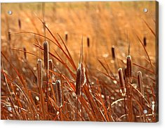 Acrylic Print featuring the photograph Cattails  by Lynn Hopwood