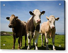 Cattle, County Waterford, Ireland Acrylic Print