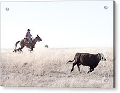 Cattle Drive Acrylic Print by Cindy Singleton