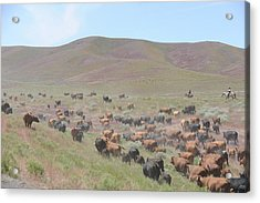 Cattle Drive In The Spring Acrylic Print by Lee Raine
