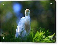 Cattle Egret Eyes Acrylic Print