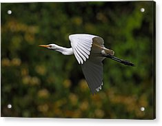 Cattle Egret In Flight Acrylic Print by Alex Sukonkin