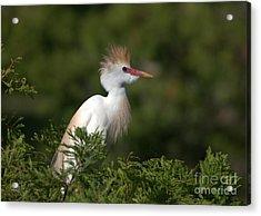 Cattle Egret No. 5 Acrylic Print