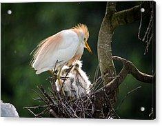 Cattle Egret Tending Her Nest Acrylic Print