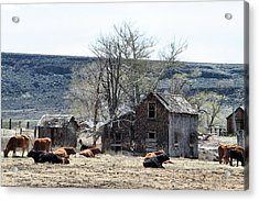 Cattle Flop House Acrylic Print by Ray Finch