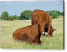 Acrylic Print featuring the photograph Cattle Grazing In Field by Charles Beeler