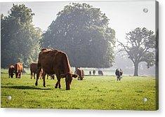 Cattle Grazing In Field Acrylic Print