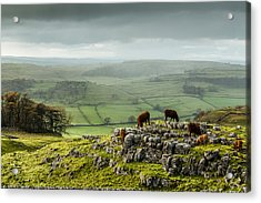 Cattle In The Yorkshire Dales Acrylic Print