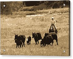 Cattle Round Up Sepia Acrylic Print