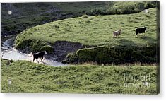 Cattle Running Acrylic Print by Andre Paquin