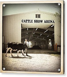 Cattle Show Acrylic Print