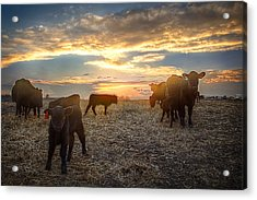 Cattle Sunset 2 Acrylic Print by Thomas Zimmerman