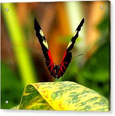 Acrylic Print featuring the photograph Cattleheart Butterfly  by Amy McDaniel