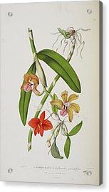 Cattleya Bicolor Acrylic Print