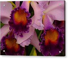 Cattleya Frills Acrylic Print by Blair Wainman