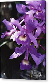 Cattleya Of Costa Rica Acrylic Print by Gregory G. Dimijian, M.D.