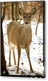Caught Playing In The Snow Acrylic Print