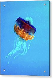 Cauliflower Jellyfish Acrylic Print by Louise Murray