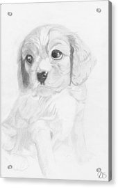 Cavalier King Charles Spaniel Puppy Acrylic Print by David Smith