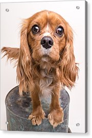 Cavalier King Charles Spaniel Puppy Acrylic Print