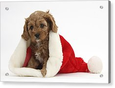 Cavapoo Puppy In Christmas Hat Acrylic Print