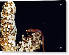 Cave Salamander Acrylic Print by Charles E. Mohr