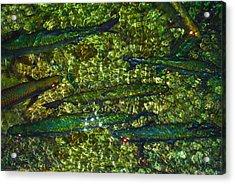 Cayman Tarpon Acrylic Print by Carey Chen