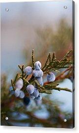 Cedar Berries Acrylic Print by Kevin Bone