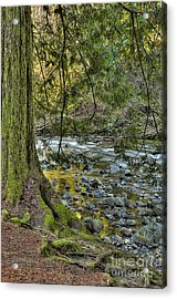 Cedar Tree By Kanaka Creek Acrylic Print