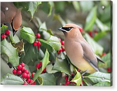 Cedar Waxwing In Holly Tree Acrylic Print
