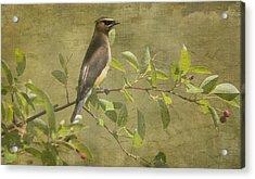Cedar Waxwing Berry Pickin  Acrylic Print