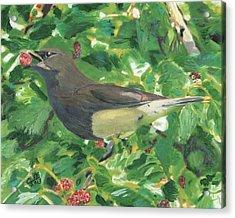 Cedar Waxwing Eating Mulberry Acrylic Print